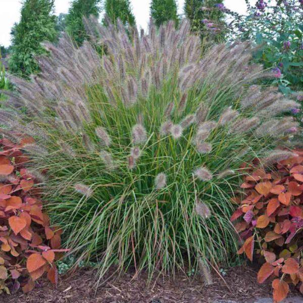 Pennisetum Desert Plains Fountain Grass