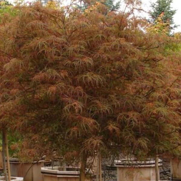 Acer Baby Lace Japanese Maple