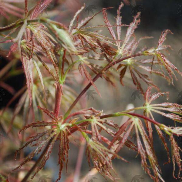 Acer palmatum dissectum Baby Lace Lace Leaf Japanese Maple