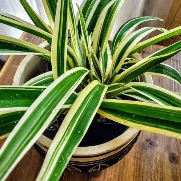 Dianella tasmanica Variegata, Flax Lily