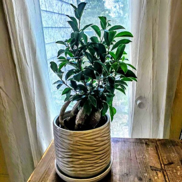 Ficus retusa Ginseng