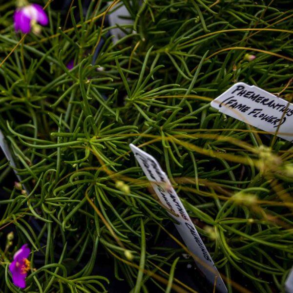 Phemeranthus calycinus Fameflower