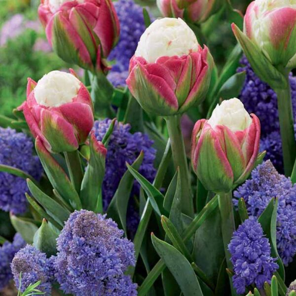Tulip Muscari Blueberry Icecream