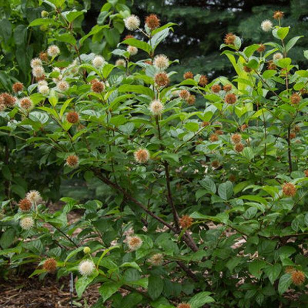 Cephalanthus Fiber Optics Buttonbush