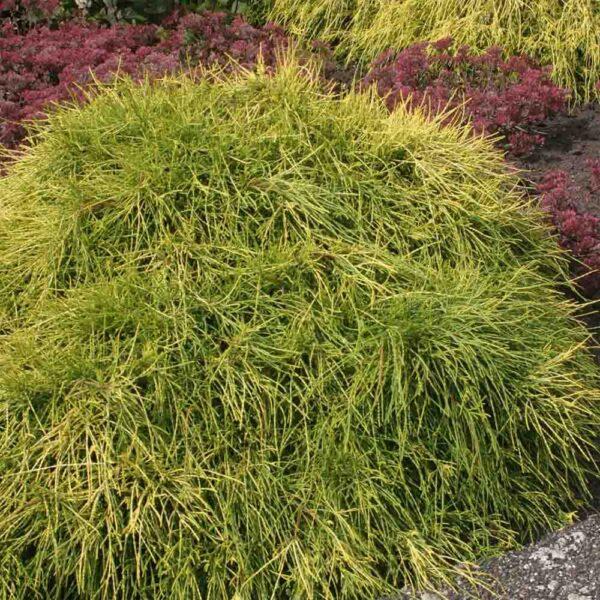 Chamaecyparis Sungold False Cypress