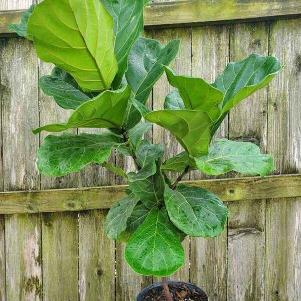 Ficus Fiddle Leaf Fig Tree Form