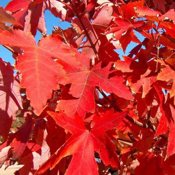 Acer Autumn Blaze Maple