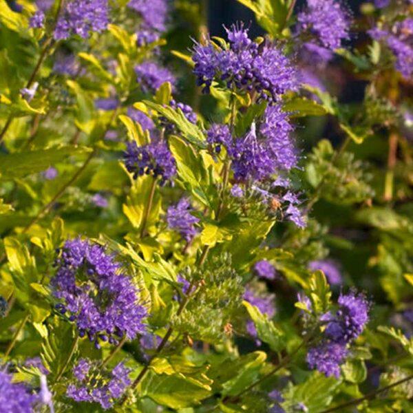 Caryopteris Sunshine Blue 2
