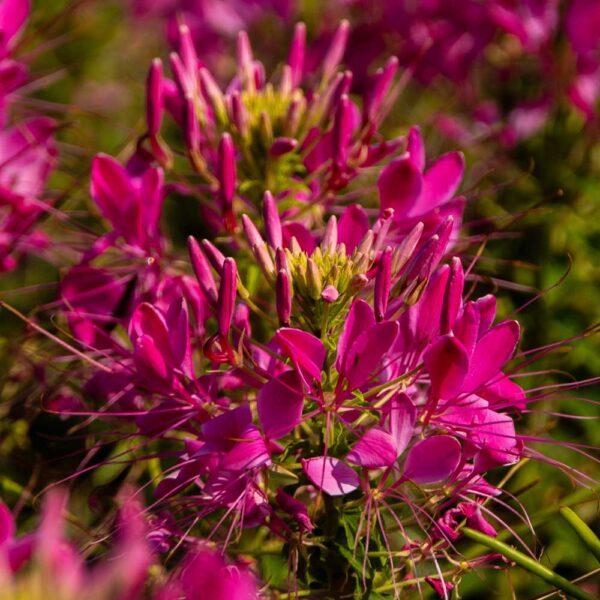 Cleome Sparkler Rose Spider Flower