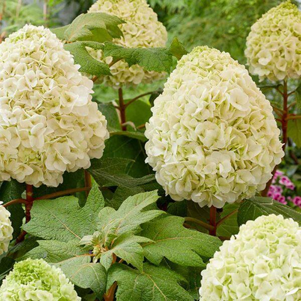 Hydrangea Tara, Oakleaf Hydrangea