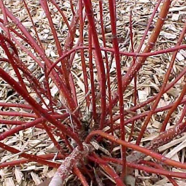 Cornus Touch of Elegance, Red Twig Dogwood