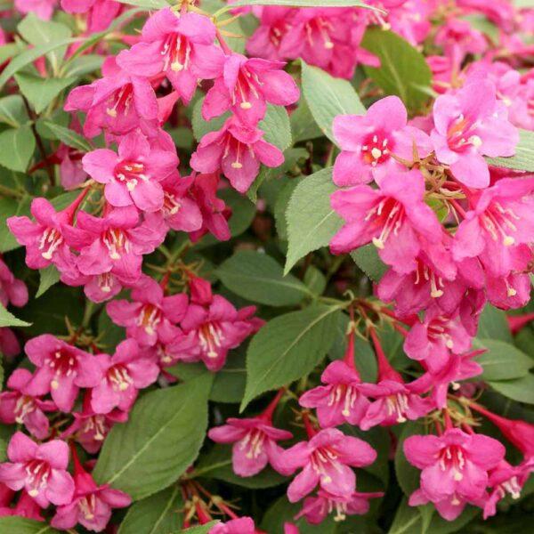 Weigela Sonic Bloom Pink – Repeat Blooming Weigela